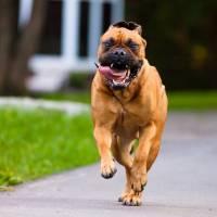 9 Dog Breeds Mistaken for Pit Bulls ...