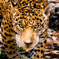 7 Amazing Big Cats That Roar Rather than Purr ...