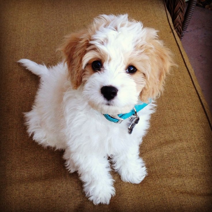 my new favorite dog, cavachon