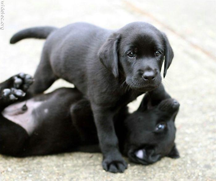 black lab :)
