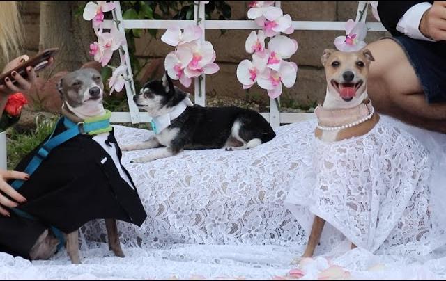 My Dogs' Wedding 🎥