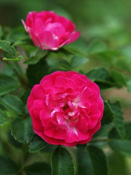 Little Mischief Rose
