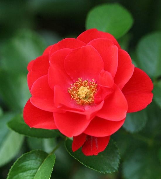 Flower Carpet Scarlet Roses