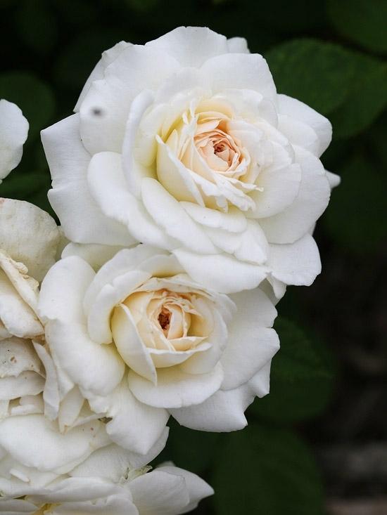 Snowdrift Roses