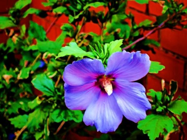 Hibiscus Oil