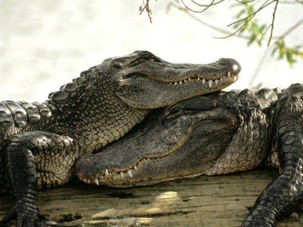 Crocodiles Love Snuggling Too