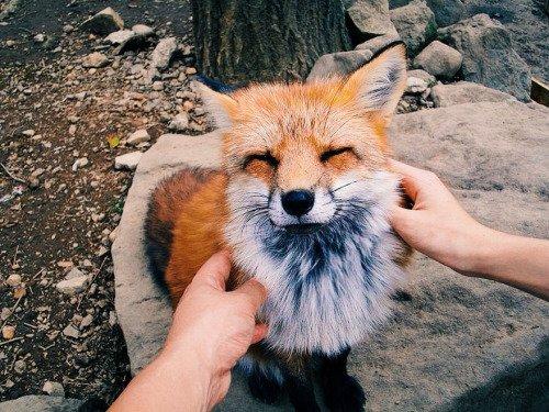 mammal,vertebrate,fox,wildlife,fauna,