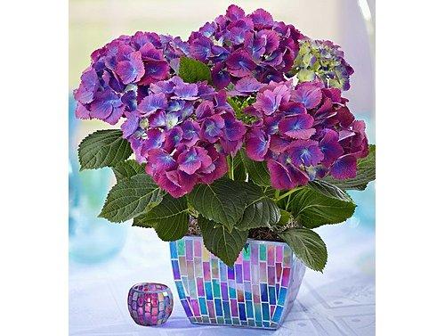 flower,hydrangea,plant,hydrangeaceae,purple,
