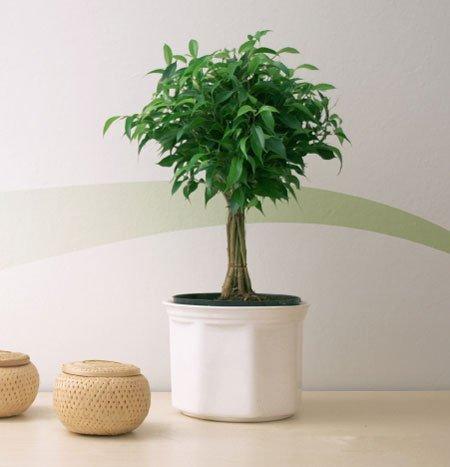 plant, tree, land plant, produce, houseplant,