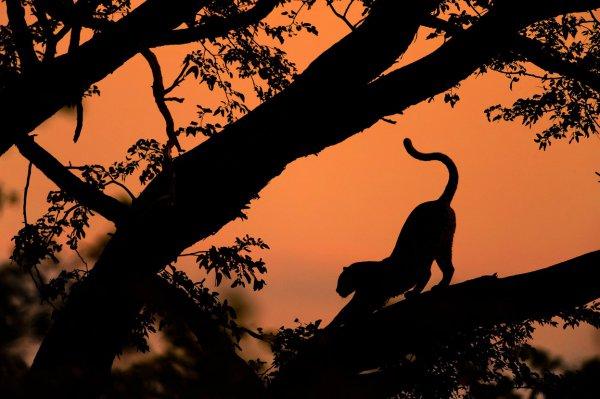 savanna, silhouette, sunset, morning, branch,