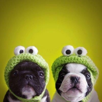 Boston Froggie Doggies