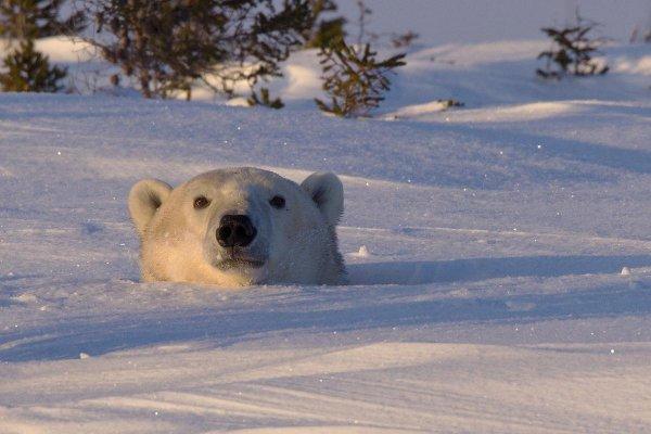 polar bear, mammal, bear, vertebrate, arctic,