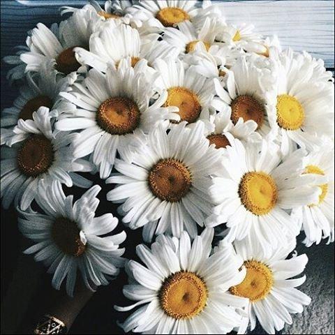 flower, plant, oxeye daisy, land plant, gerbera,