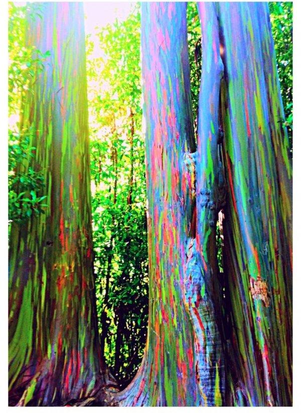 Rainbow Eucalyptus Maui