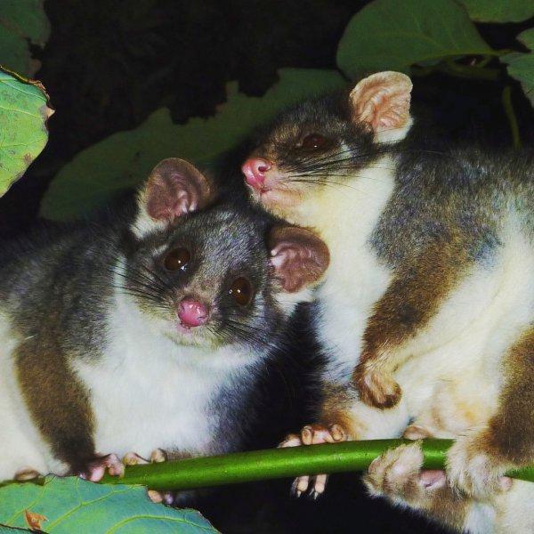 fauna, possum, marsupial, mouse, dormouse,