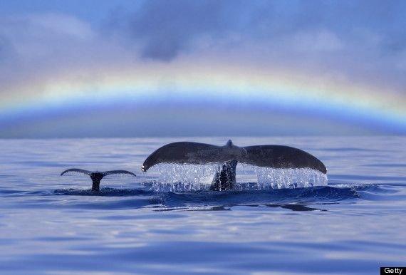 Baby Humpbacks