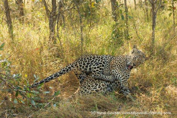 leopard, mammal, cheetah, vertebrate, wildlife,