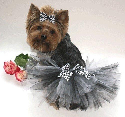 terrier,yorkshire terrier,dog like mammal,