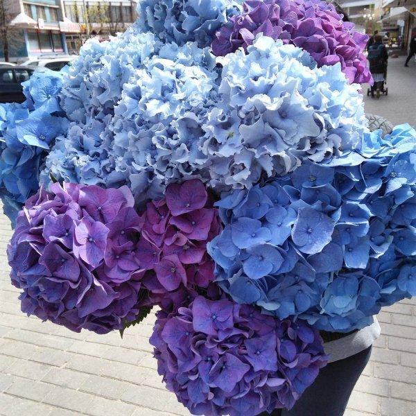 flower, hydrangea, plant, blue, hydrangeaceae,