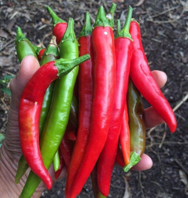 Malagueta pepper, Bird's eye chili, Serrano pepper, Tabasco pepper, Chili pepper,