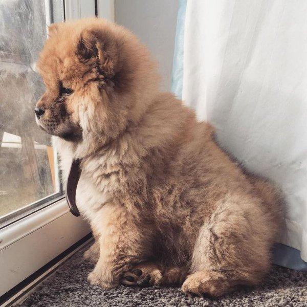 dog, dog like mammal, dog breed, mammal, dog breed group,