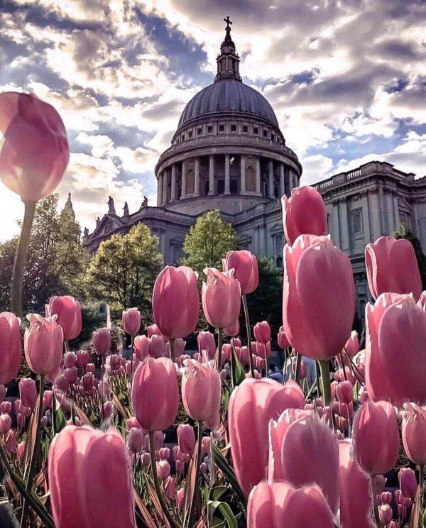 flower, plant, flowering plant, pink, tulip,