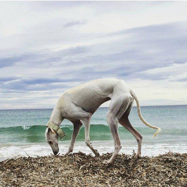 whippet, italian greyhound, sloughi, sighthound, galgo español,