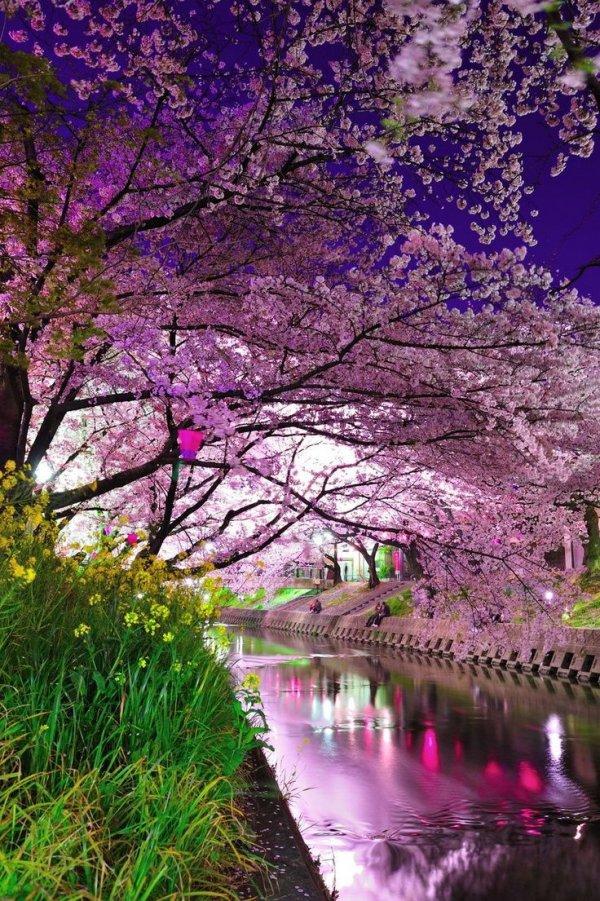 flower,cherry blossom,blossom,plant,tree,