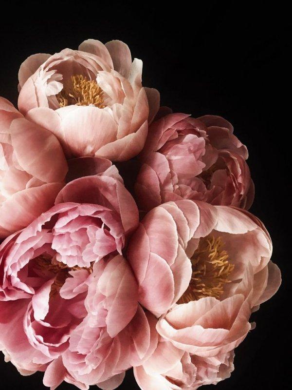 Pink, Flower, Petal, Peony, Rosa × centifolia,