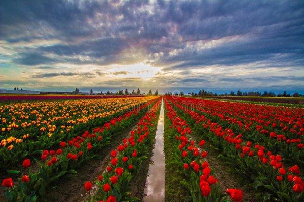 flower, field, sky, flowering plant, tulip,