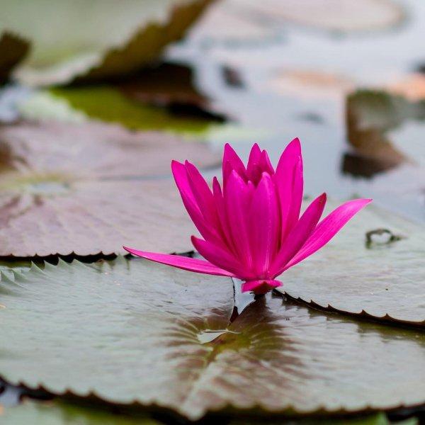 flower, flora, pink, plant, leaf,