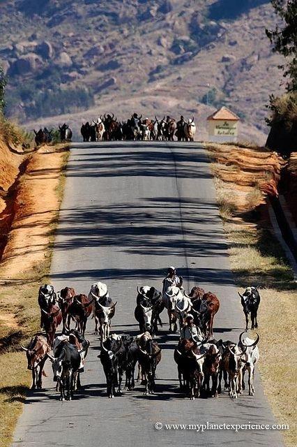 Driving Herds of Zebus to Market, Ambalavao