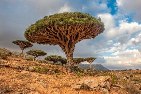 Dragon Blood Trees in Yemen