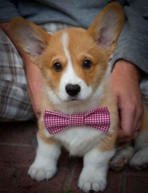 dog,mammal,vertebrate,welsh corgi,dog breed,