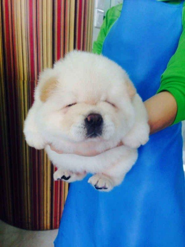 dog,mammal,vertebrate,dog breed,dog breed group,