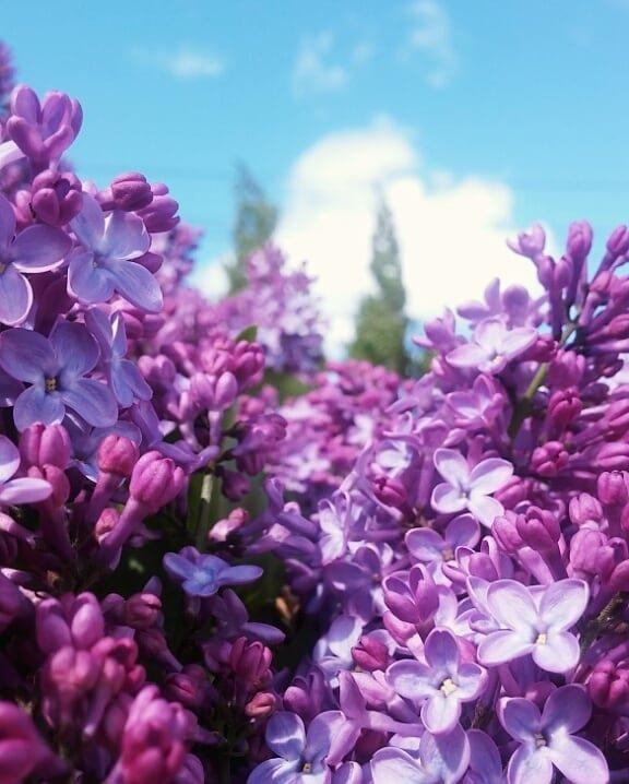 flower, lilac, purple, plant, flowering plant,
