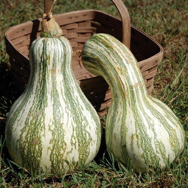 Cushaw Pumpkins