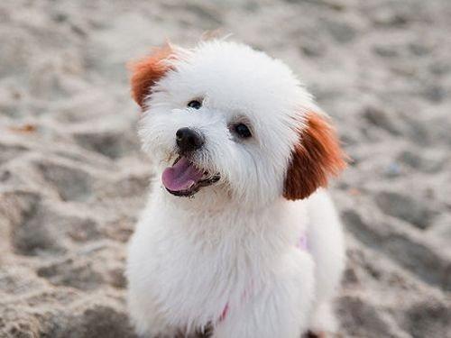 dog,mammal,vertebrate,dog breed,bichon frisé,