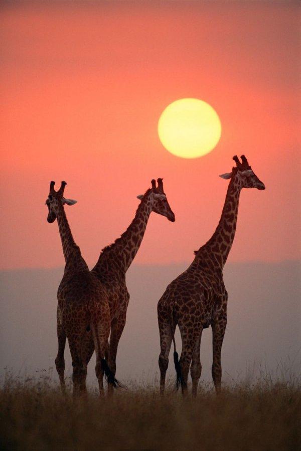 giraffe, giraffidae, wildlife, mammal, fauna,