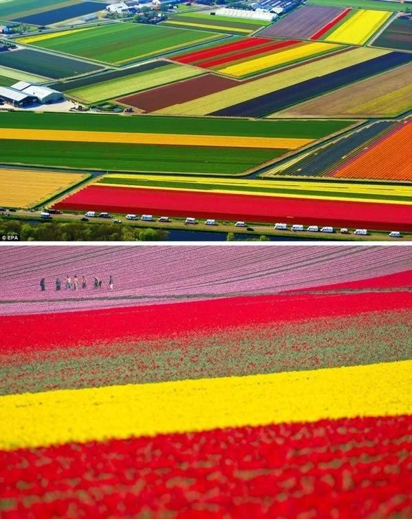 Tulip Fields, Lisse, the Netherlands