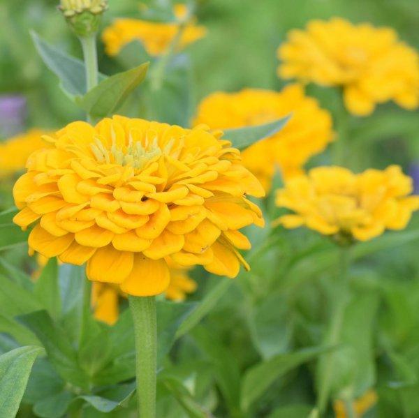 flower, yellow, plant, annual plant, calendula,