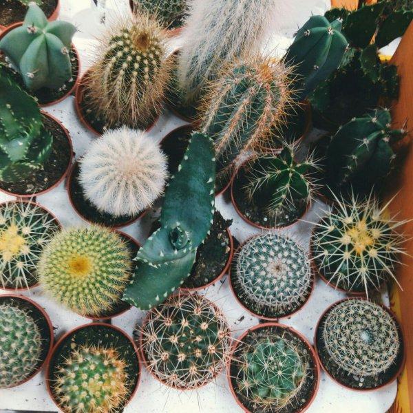 plant, cactus, hedgehog cactus, botany, land plant,