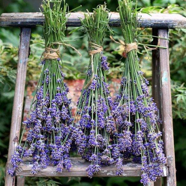 flower,flora,plant,lavender,botany,