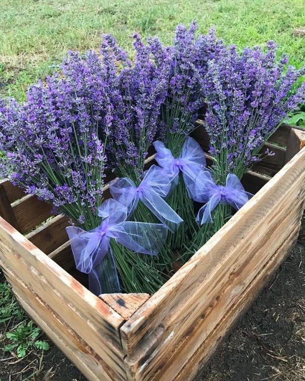 Flower, Flowering plant, Plant, Lavender, Lavender,