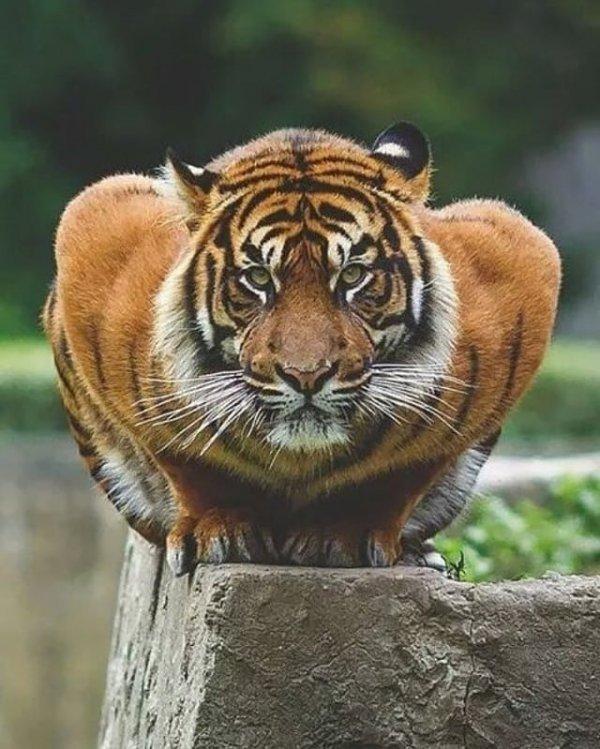 tiger, wildlife, terrestrial animal, mammal, whiskers,