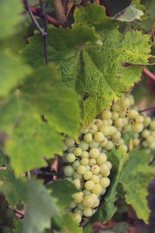 Grape leaves, Grape, Flower, Plant, Grapevine family,