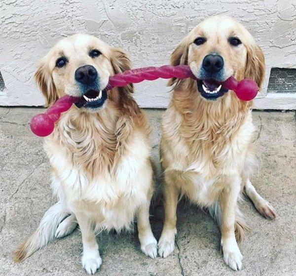 dog, golden retriever, dog breed, retriever, dog like mammal,