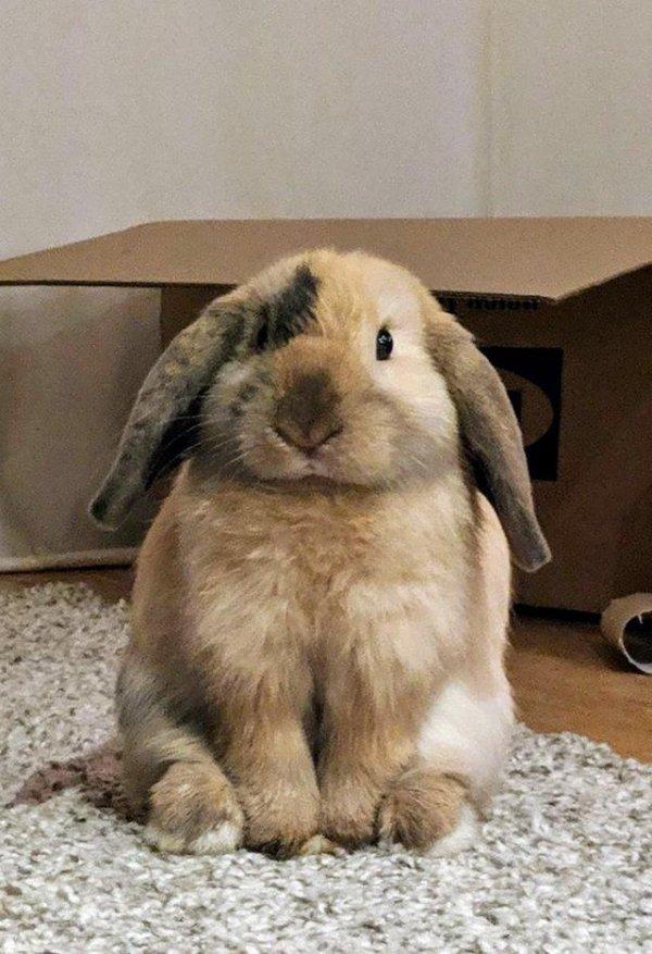 Domestic rabbit, Vertebrate, Rabbit, Mammal, Rabbits and Hares,