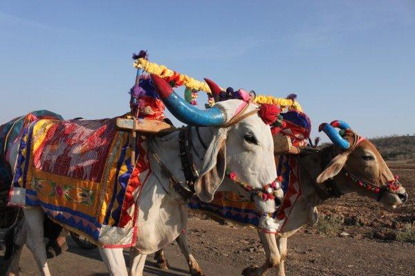 Try a Bullock Cart Ride