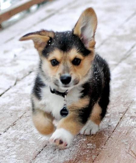 dog,mammal,vertebrate,dog breed,welsh corgi,